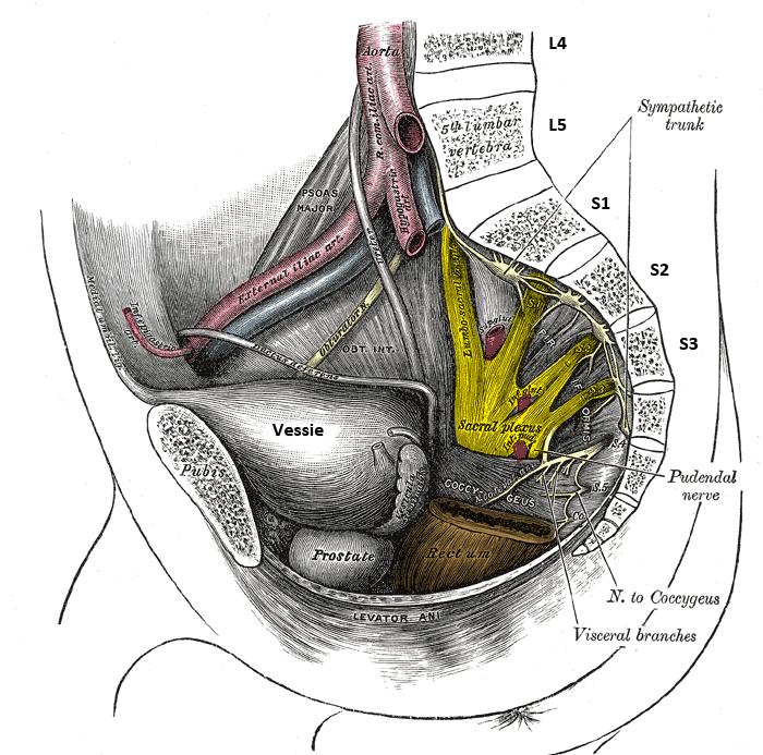 racines du nerf sciatique