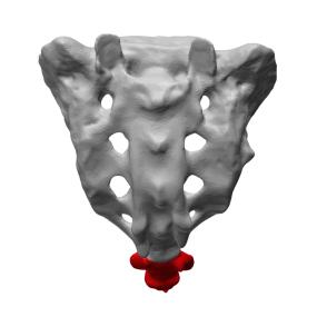 coccyx et sacrum osteopathe lille