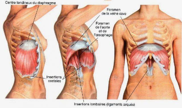 diaphragme julien moreno ostéopathe montpellier
