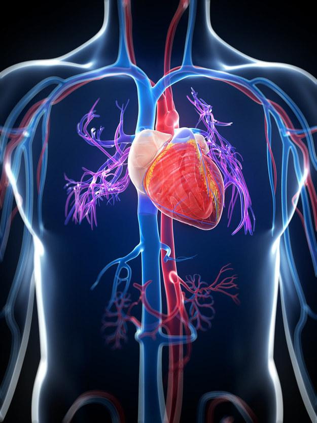 ostéopathie coeur vaisseaux sanguins