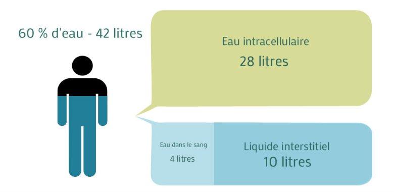Répartition de l'eau corporelle entre le liquide intracellulaire, et le liquide extracellulaire (sang et milieu interstitiel)
