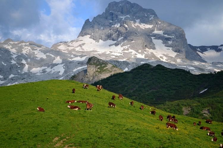 Tarine køer græsser i Alperne