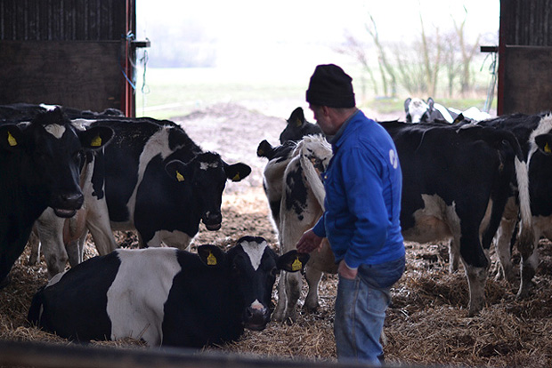Preben og køerne