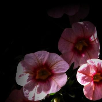 Hardy Petunia-3b