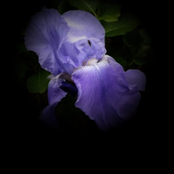 Iris-2b