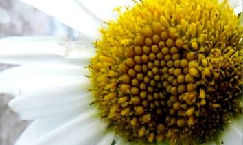 The Common White Daisy