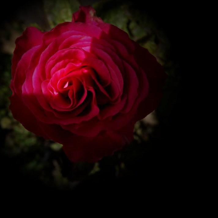 Red Rose-1b