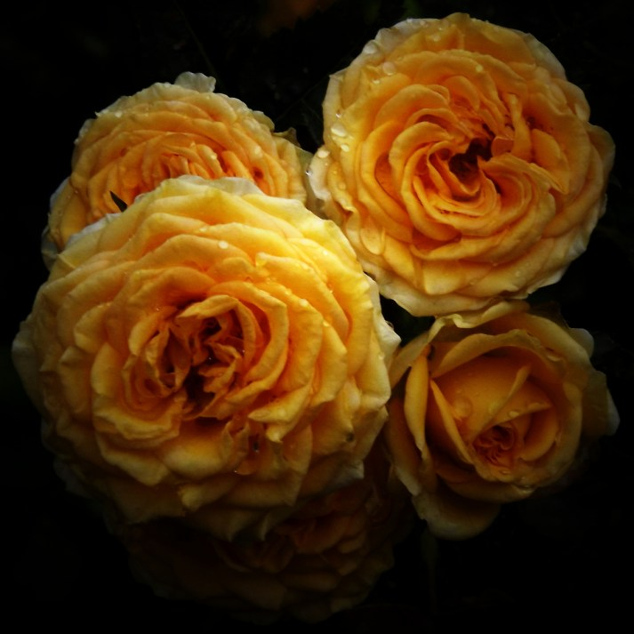 Four yellow roses in bloom.