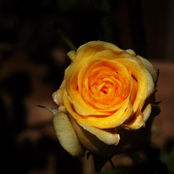 A yellow rose bud coming into bloom