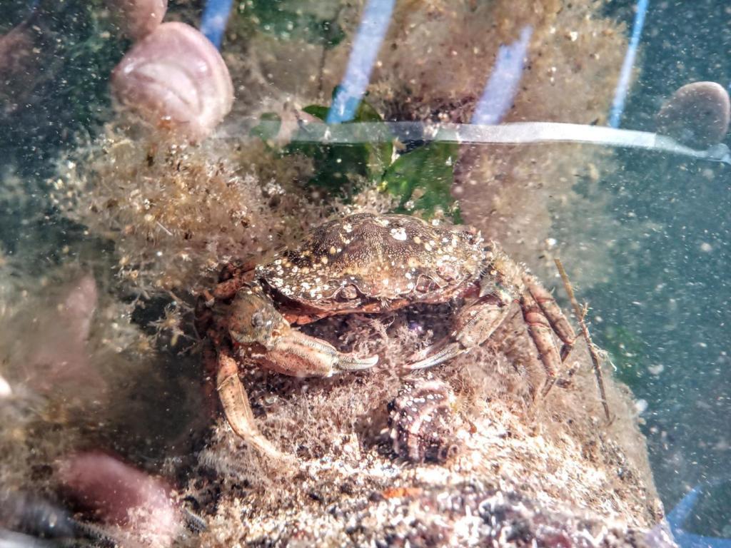 crabe vert ou enragé