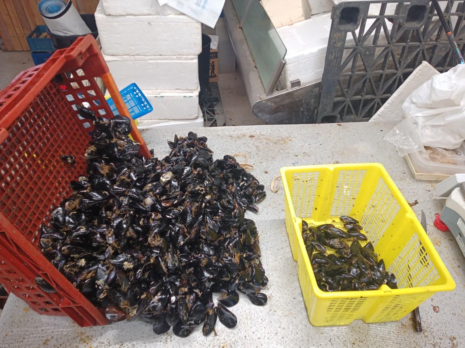 Nettoyage des moules de Bouzigues