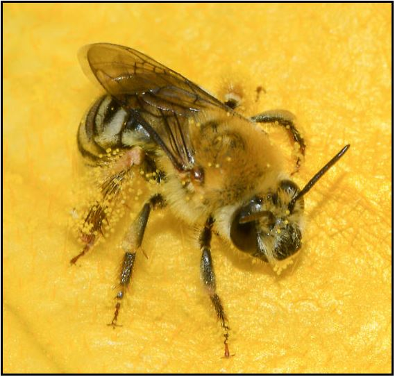 female squash bee scopa square jaw, in center of squash flower, legs covered with powdery yellow pollen