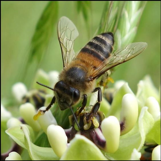 Female honey bee, Apis mellifera, common in landscapes and gardens country-wide.