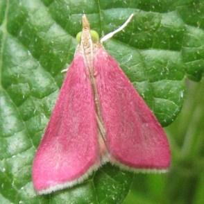 Adult Southern Pink Moth, Pyrausta inornatalis