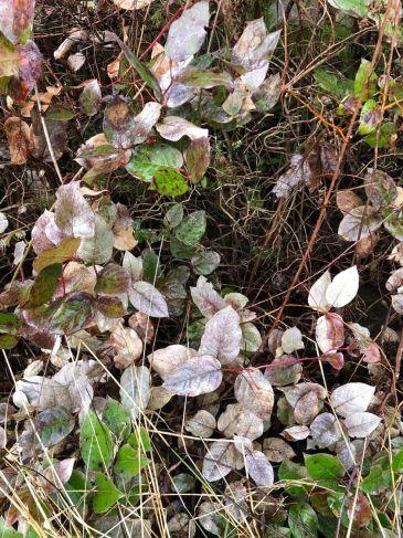 Trips on salal leaves