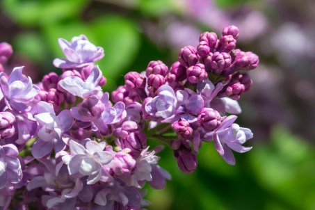 Lilac bloom.