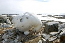 A light morph southern giant petrel waiting for its egg to hatch