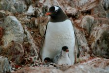 A Gentoo parent guarding a two-chick nest. Adelie and Gentoo penguins typically lay two eggs, and depending on environmental conditions, are able to successfully raise two chicks