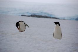 Two Adelie penguins making the sea-to-colony commute on Dream Island
