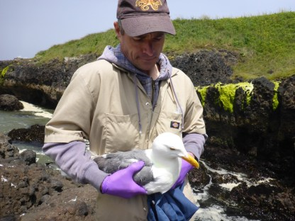 Rob Suryan preparing to release a newly tagged bird