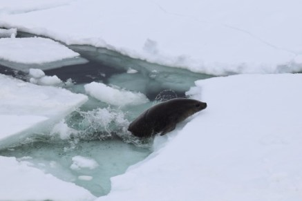 A crabeater seal hauling itself up out of the water and onto an ice floe (most likely for a nap)