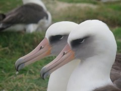 A pair of Laysan albatrosses.