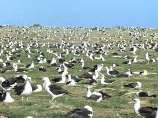 Fields and fields of albatrosses.