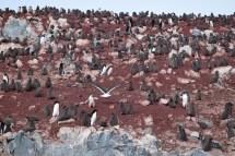 Adelie penguin (Pygoscelis adeliae) colony on Avian Island