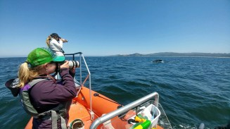 Gray whale photo-identification. Photo by Dawn Barlow.