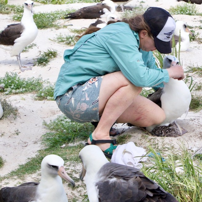 Catching a tagged albatross that just returned from its foraging trip. Photo V. Ternisien