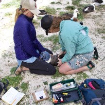 Getting ready to remove the GPS datalogger. Photo V. Ternisien