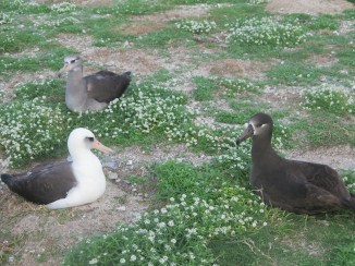 From left to right: A Laysan albatross, a hybrid, and a black-footed albatross.