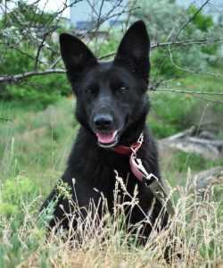 Красивая черная собака Ночка.