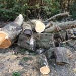 【原木購入】ケヤキの原木、やたらデカいよ!