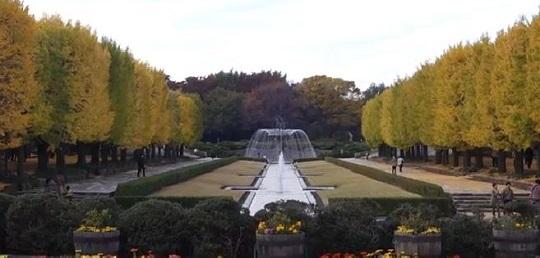 昭和記念公園のカナールのイチョウ