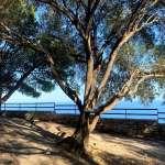 An old tree overlooking the sea in Taormina