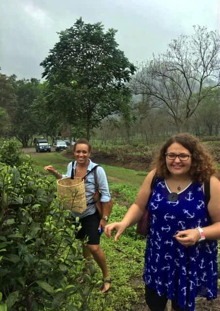 Tea leaf picking in Chiang Mai, Thailand