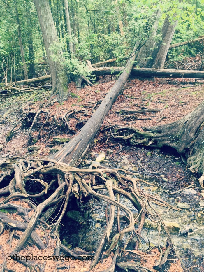 Biking Mackinac Island - Browns Brook Tree Root