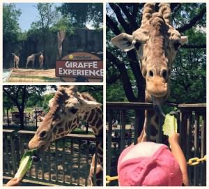 Milwaukee County Zoo - Giraffe Experience