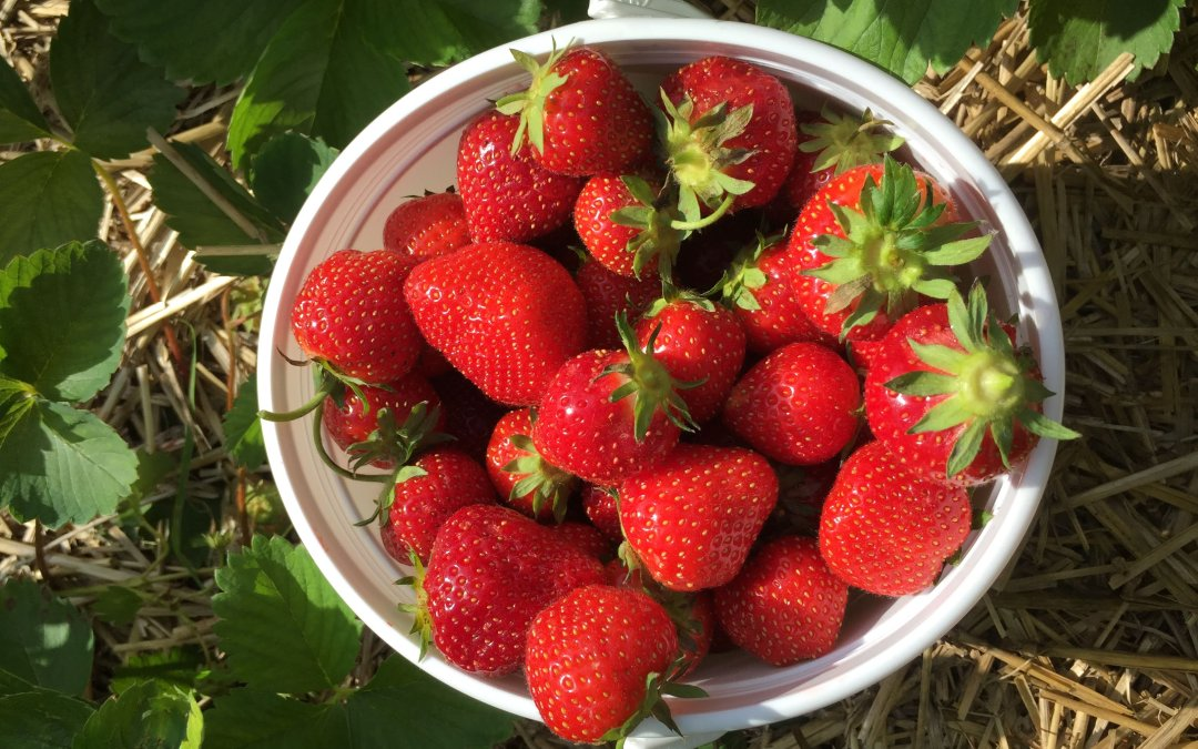 Strawberry Picking Fun at Stade's Farm & Market in McHenry