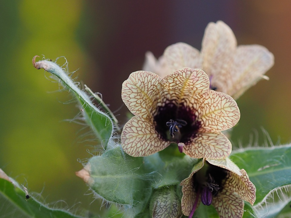 Henbane, another of the poisons in witch's flying ointment.