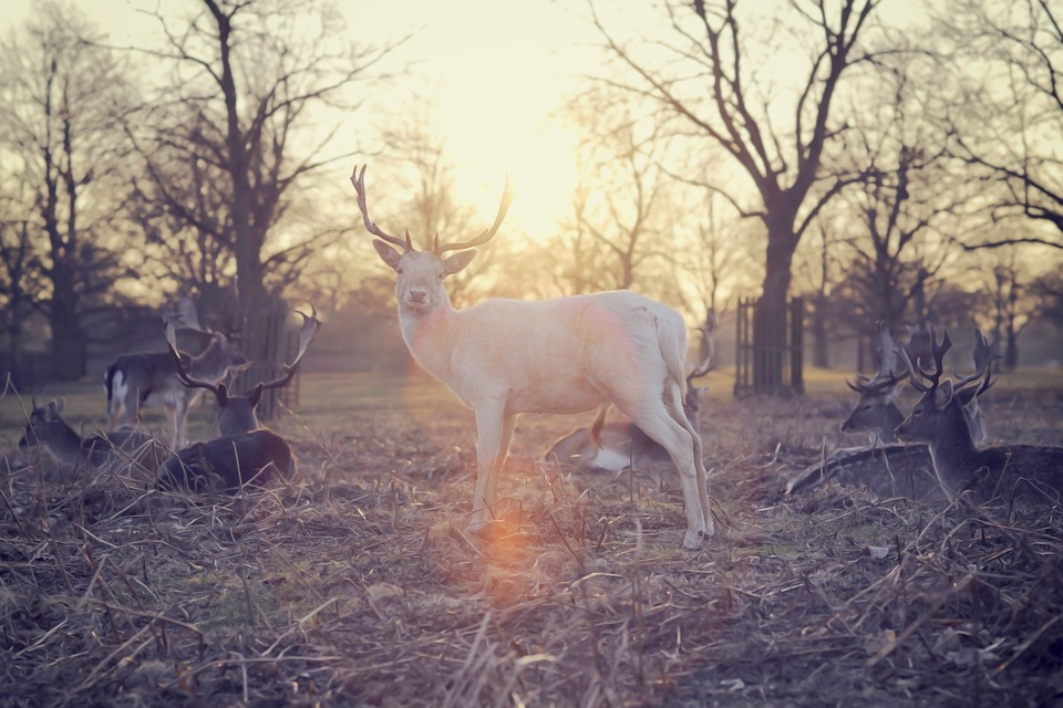 A bad animal omen to people in the Eastern U.S. is the sighting of a white deer.