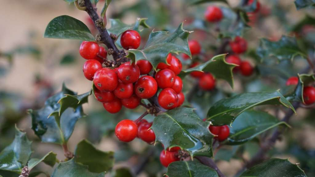 Christmas holly has been part of winter celebrations of centuries.