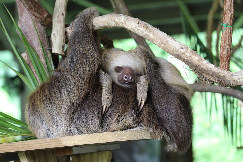 The sloth spirit animal teaches us strength.