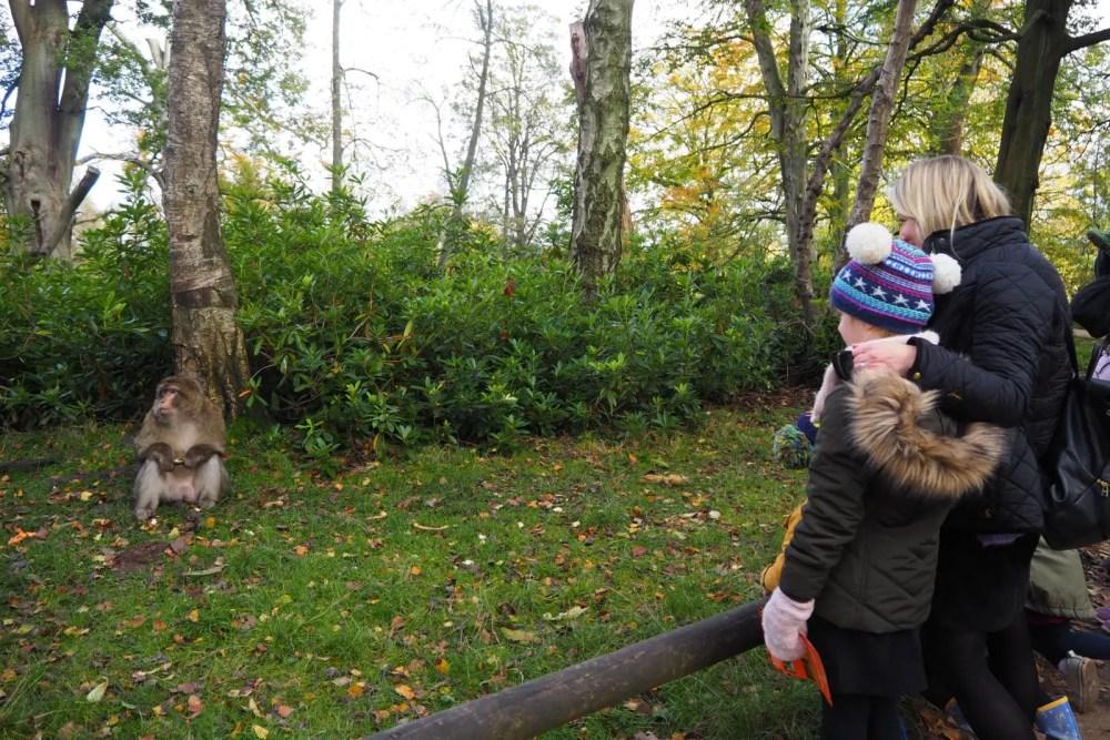 capturing the monkey at Trentham Monkey Forest