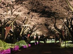東京夜桜2