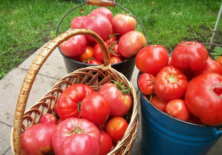Когда собирать помидоры в открытом грунте