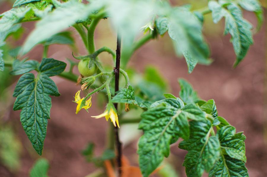 Как бороться с паутинным клещом на рассаде? Паутинный клещ на рассаде перца, помидоров, баклажан и как с ним бороться