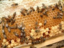 蜜を運んでいるミツバチ