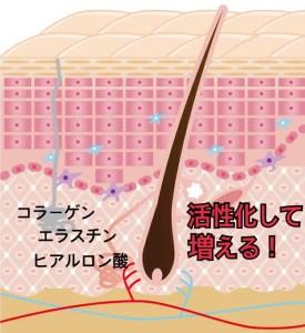 肌の断面図2 ハーバルピール効果の仕組み真皮が活性化する様子
